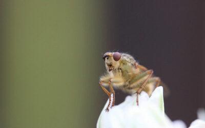 La mouche du vinaigre, un modèle pour soigner les maladies génétiques humaines